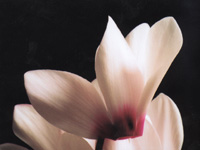 Andrew Baxter took this photo of a cyclamen